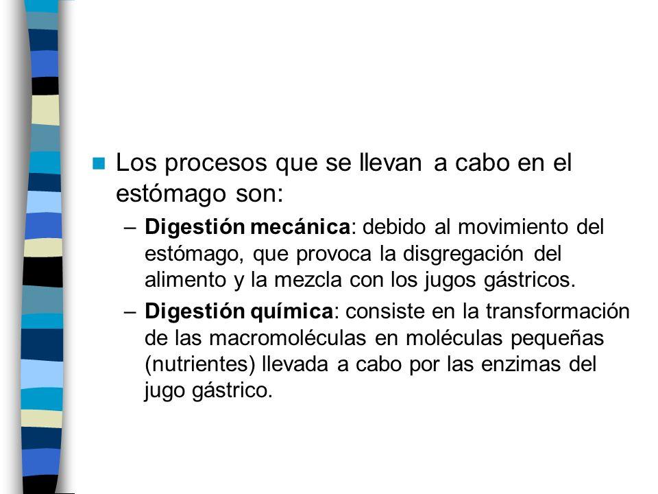 Los procesos que se llevan a cabo en el estómago son: –Digestión mecánica: debido al movimiento del estómago, que provoca la disgregación del alimento