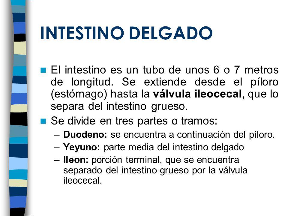 INTESTINO DELGADO El intestino es un tubo de unos 6 o 7 metros de longitud. Se extiende desde el píloro (estómago) hasta la válvula ileocecal, que lo
