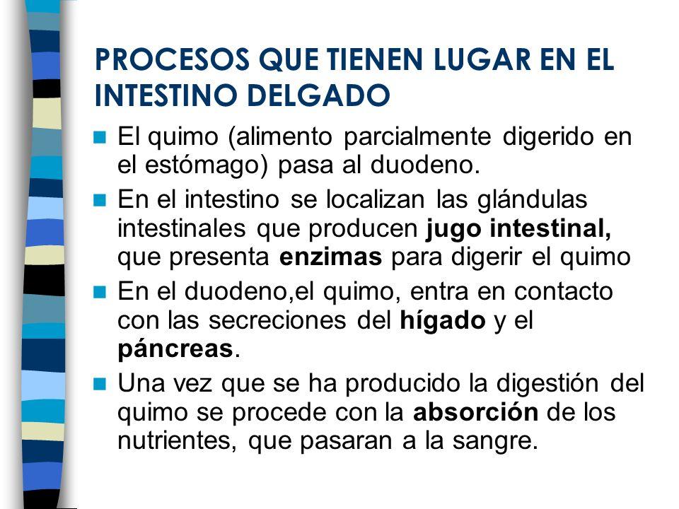 PROCESOS QUE TIENEN LUGAR EN EL INTESTINO DELGADO El quimo (alimento parcialmente digerido en el estómago) pasa al duodeno. En el intestino se localiz