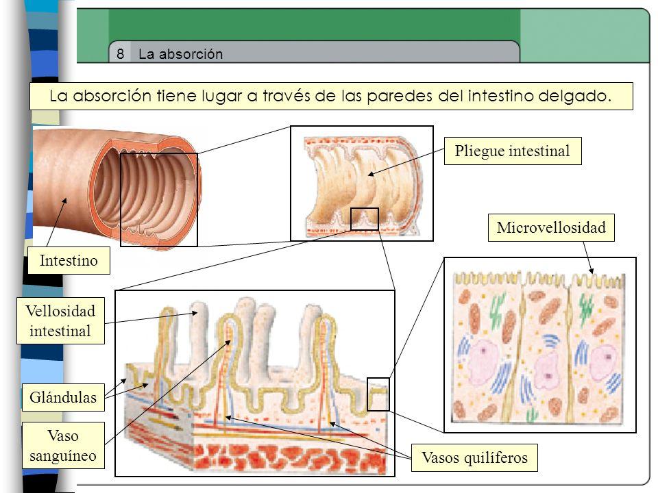 8La absorción La absorción tiene lugar a través de las paredes del intestino delgado. Pliegue intestinal Intestino Microvellosidad Glándulas Vasos qui