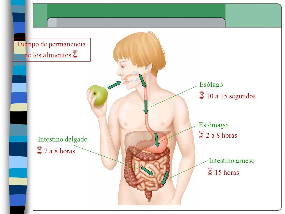 Esófago Estómago Intestino delgado Intestino grueso Tiempo de permanencia de los alimentos 10 a 15 segundos 2 a 8 horas 15 horas 7 a 8 horas