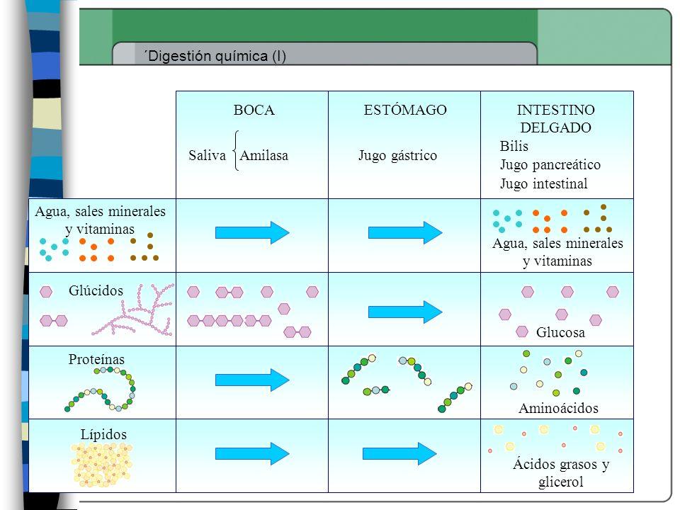 ´Digestión química (I) Glúcidos Proteínas Lípidos Agua, sales minerales y vitaminas BOCA SalivaAmilasa Glucosa ESTÓMAGOINTESTINO DELGADO Jugo gástrico