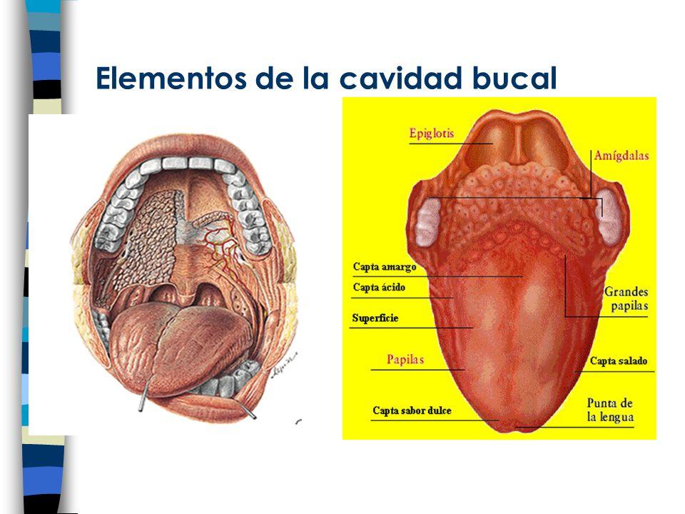 PÁNCREAS Glándula alargada que se encuentra por debajo del estómago.