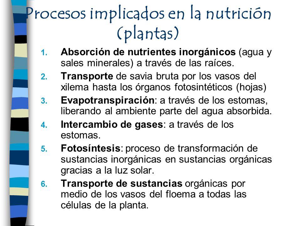 Procesos implicados en la nutrición (plantas) 1. Absorción de nutrientes inorgánicos (agua y sales minerales) a través de las raíces. 2. Transporte de