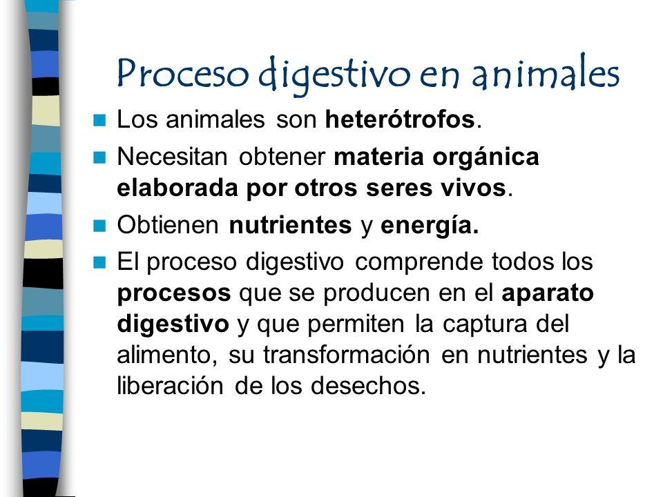 Proceso digestivo en animales Los animales son heterótrofos. Necesitan obtener materia orgánica elaborada por otros seres vivos. Obtienen nutrientes y