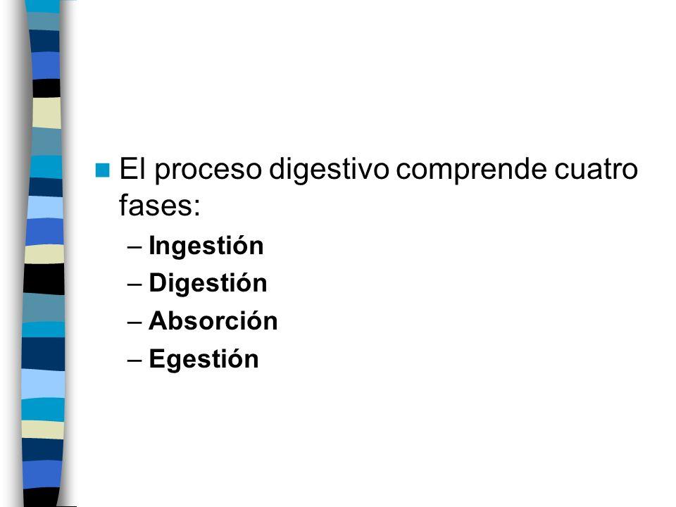 El proceso digestivo comprende cuatro fases: –Ingestión –Digestión –Absorción –Egestión