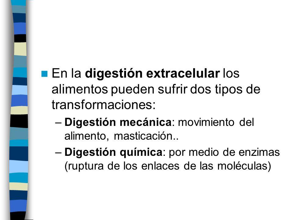 En la digestión extracelular los alimentos pueden sufrir dos tipos de transformaciones: –Digestión mecánica: movimiento del alimento, masticación.. –D