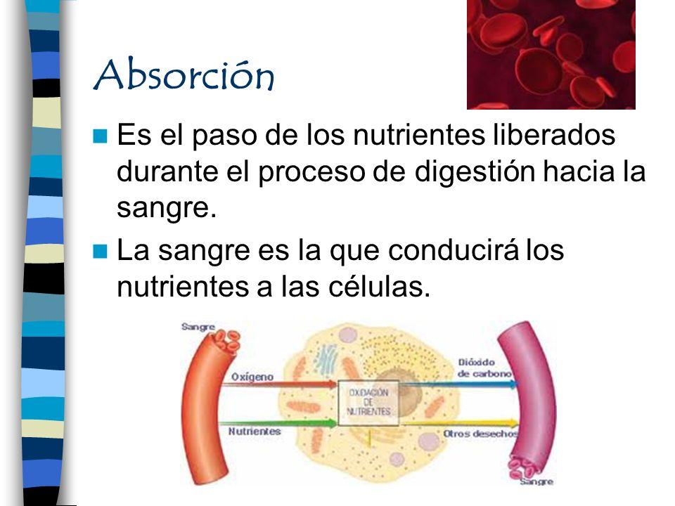 Absorción Es el paso de los nutrientes liberados durante el proceso de digestión hacia la sangre. La sangre es la que conducirá los nutrientes a las c