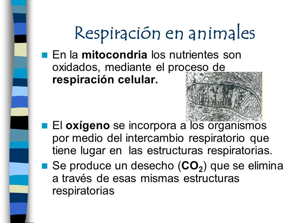 Respiración en animales En la mitocondria los nutrientes son oxidados, mediante el proceso de respiración celular. El oxígeno se incorpora a los organ