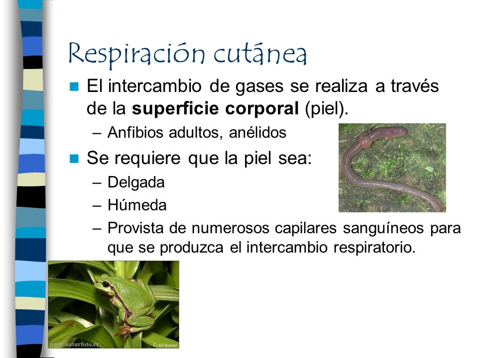 Respiración cutánea El intercambio de gases se realiza a través de la superficie corporal (piel). –Anfibios adultos, anélidos Se requiere que la piel