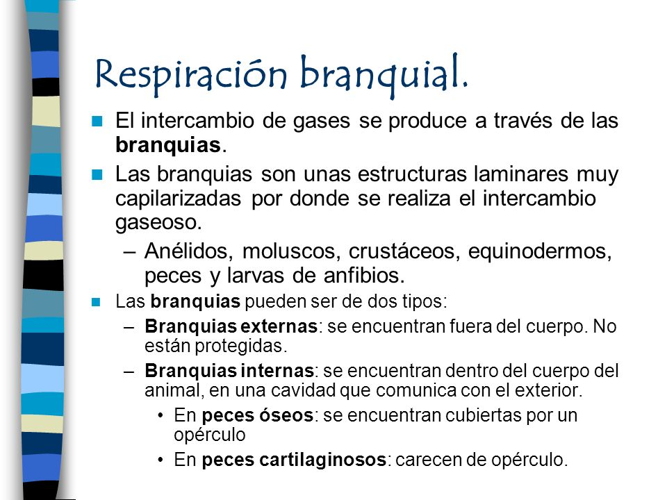 Respiración branquial. El intercambio de gases se produce a través de las branquias. Las branquias son unas estructuras laminares muy capilarizadas po