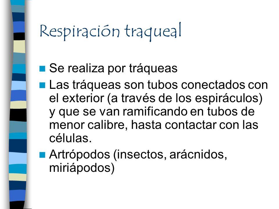 Respiración traqueal Se realiza por tráqueas Las tráqueas son tubos conectados con el exterior (a través de los espiráculos) y que se van ramificando