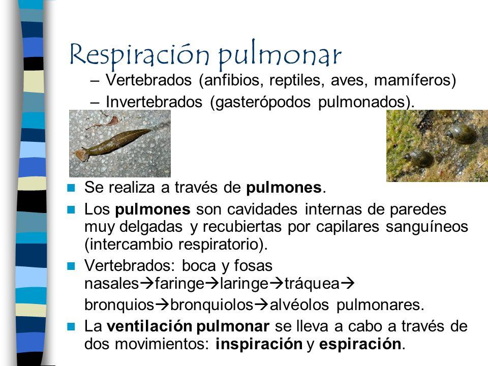 Respiración pulmonar –Vertebrados (anfibios, reptiles, aves, mamíferos) –Invertebrados (gasterópodos pulmonados). Se realiza a través de pulmones. Los