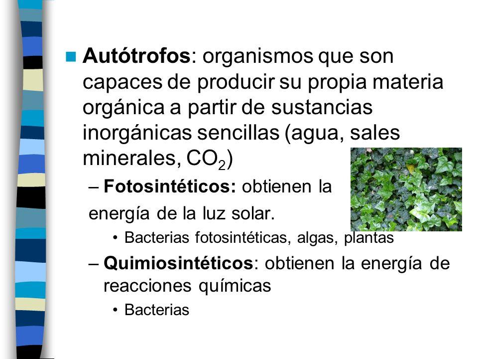 Autótrofos: organismos que son capaces de producir su propia materia orgánica a partir de sustancias inorgánicas sencillas (agua, sales minerales, CO