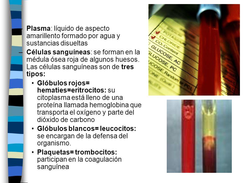 –Plasma: líquido de aspecto amarillento formado por agua y sustancias disueltas –Células sanguíneas: se forman en la médula ósea roja de algunos hueso