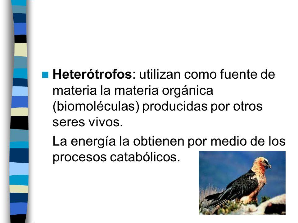 Heterótrofos: utilizan como fuente de materia la materia orgánica (biomoléculas) producidas por otros seres vivos. La energía la obtienen por medio de