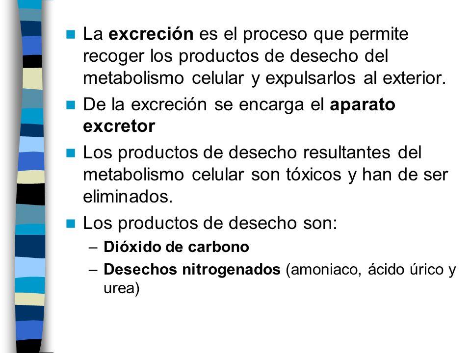 La excreción es el proceso que permite recoger los productos de desecho del metabolismo celular y expulsarlos al exterior. De la excreción se encarga
