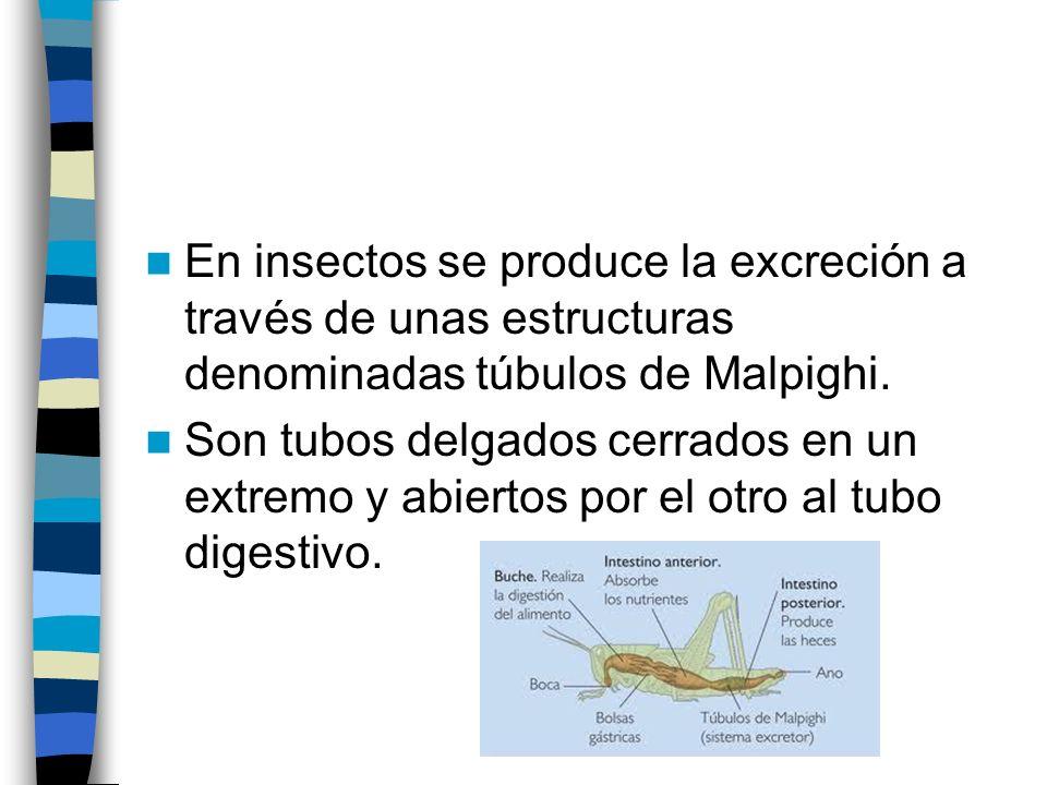 En insectos se produce la excreción a través de unas estructuras denominadas túbulos de Malpighi. Son tubos delgados cerrados en un extremo y abiertos