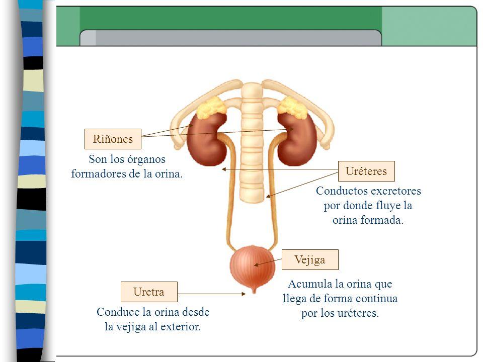 Vejiga Uretra Uréteres Riñones Son los órganos formadores de la orina. Conductos excretores por donde fluye la orina formada. Acumula la orina que lle