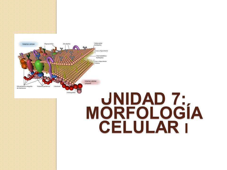 Lipidos de membrana Los lípidos constituyentes de las membranas son: Fosfolípidos son los lípidos más abundantes en las membranas biológicas.