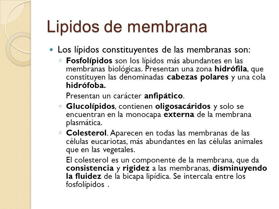 Lipidos de membrana Los lípidos constituyentes de las membranas son: Fosfolípidos son los lípidos más abundantes en las membranas biológicas. Presenta