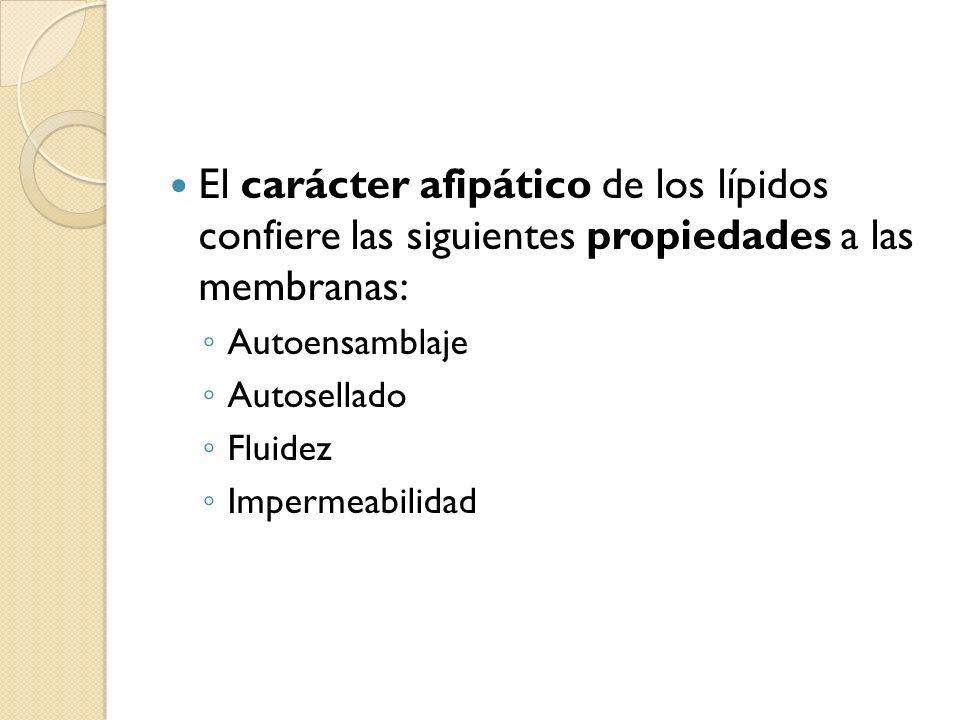 El carácter afipático de los lípidos confiere las siguientes propiedades a las membranas: Autoensamblaje Autosellado Fluidez Impermeabilidad