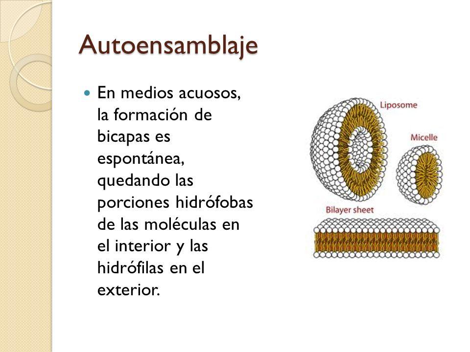 Autoensamblaje En medios acuosos, la formación de bicapas es espontánea, quedando las porciones hidrófobas de las moléculas en el interior y las hidrófilas en el exterior.