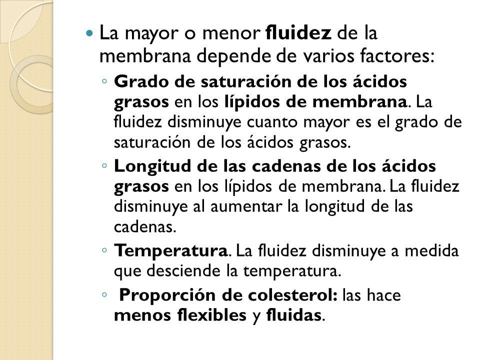 La mayor o menor fluidez de la membrana depende de varios factores: Grado de saturación de los ácidos grasos en los lípidos de membrana. La fluidez di