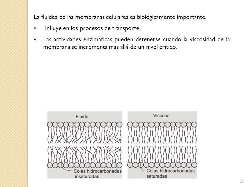 La fluidez de las membranas celulares es biológicamente importante. Influye en los procesos de transporte. Las actividades enzimáticas pueden deteners