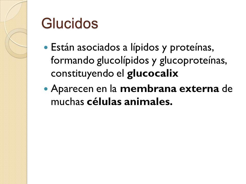 Glucidos Están asociados a lípidos y proteínas, formando glucolípidos y glucoproteínas, constituyendo el glucocalix Aparecen en la membrana externa de muchas células animales.