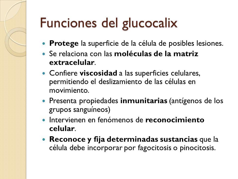 Funciones del glucocalix Protege la superficie de la célula de posibles lesiones. Se relaciona con las moléculas de la matriz extracelular. Confiere v