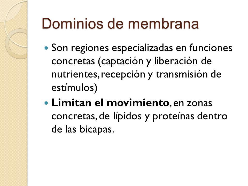 Dominios de membrana Son regiones especializadas en funciones concretas (captación y liberación de nutrientes, recepción y transmisión de estímulos) Limitan el movimiento, en zonas concretas, de lípidos y proteínas dentro de las bicapas.