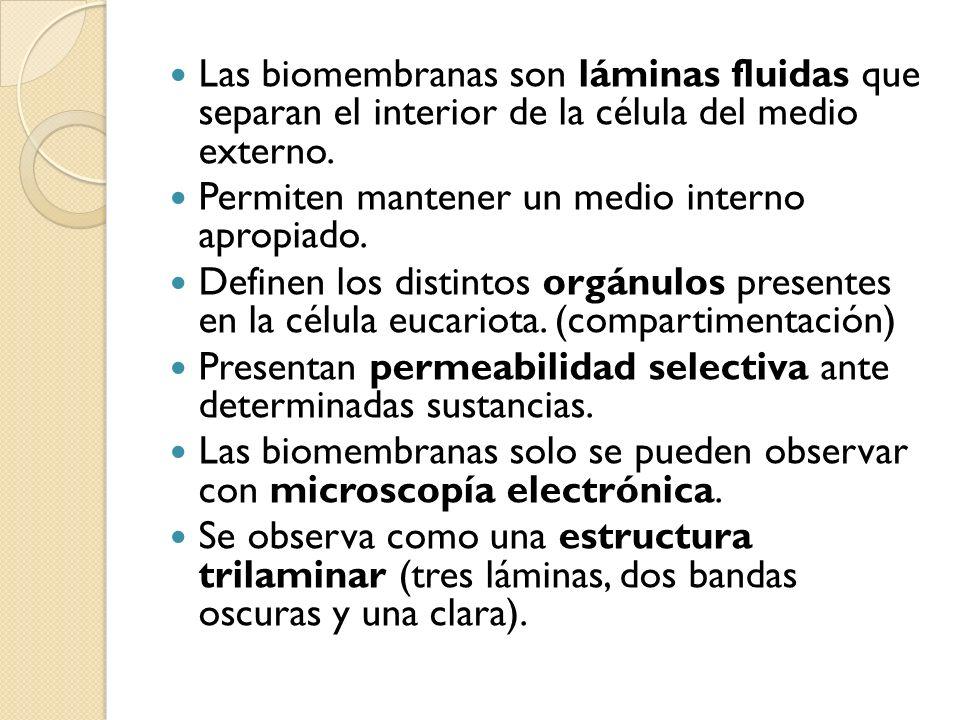 Las biomembranas son láminas fluidas que separan el interior de la célula del medio externo. Permiten mantener un medio interno apropiado. Definen los