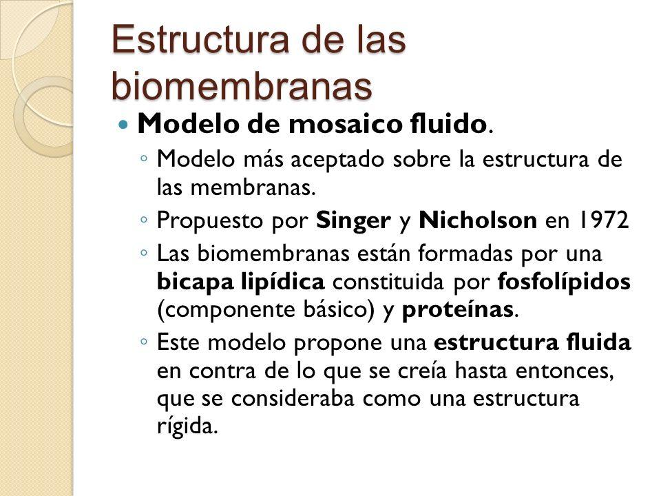 Estructura de las biomembranas Modelo de mosaico fluido. Modelo más aceptado sobre la estructura de las membranas. Propuesto por Singer y Nicholson en