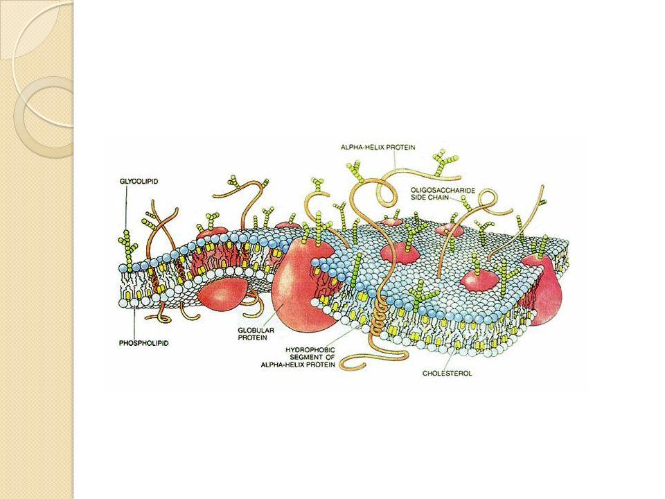 La mayor o menor fluidez de la membrana depende de varios factores: Grado de saturación de los ácidos grasos en los lípidos de membrana.