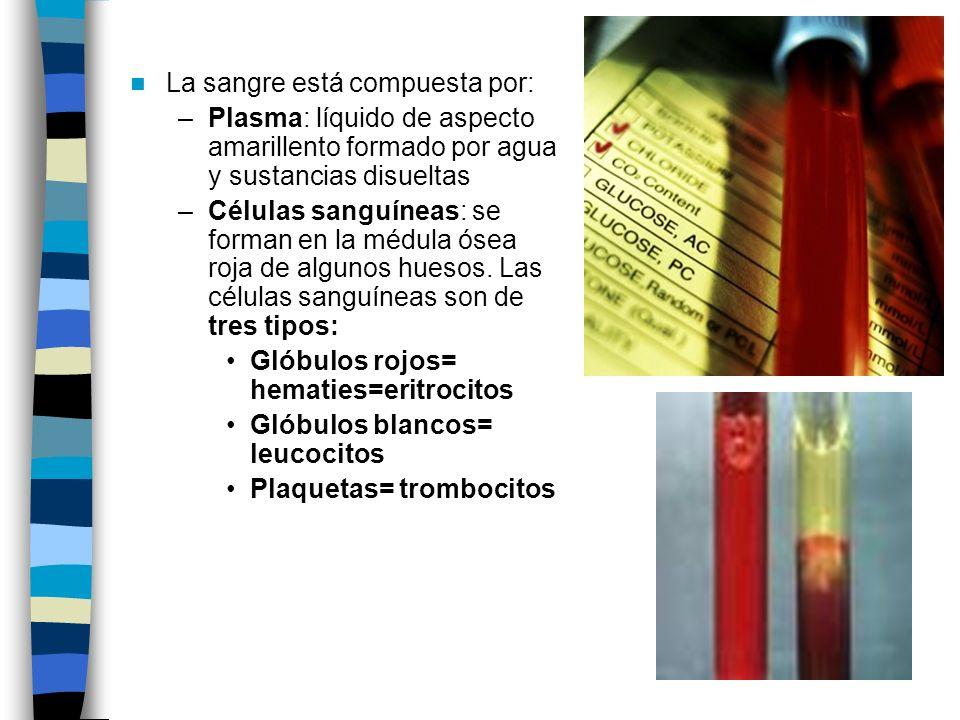 La sangre está compuesta por: –Plasma: líquido de aspecto amarillento formado por agua y sustancias disueltas –Células sanguíneas: se forman en la médula ósea roja de algunos huesos.