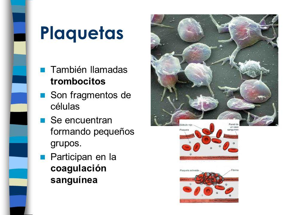 Plaquetas También llamadas trombocitos Son fragmentos de células Se encuentran formando pequeños grupos.