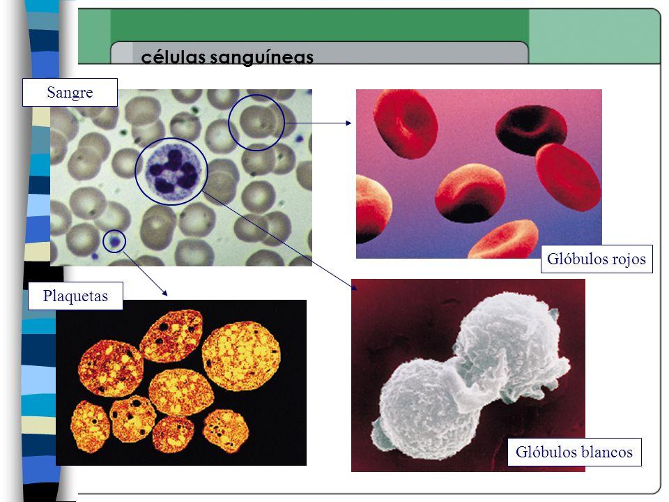 células sanguíneas Sangre Glóbulos rojos Glóbulos blancos Plaquetas