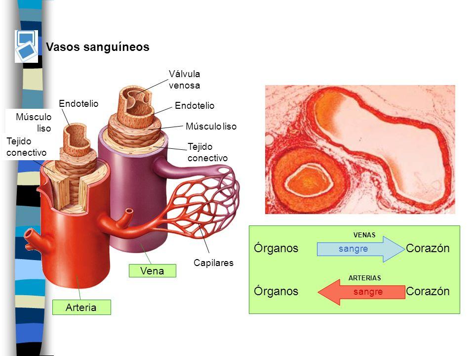 Vasos sanguíneos Arteria Vena Órganos Corazón VENAS ARTERIAS sangre Válvula venosa Endotelio Músculo liso Tejido conectivo Endotelio Músculo liso Tejido conectivo Capilares sangre