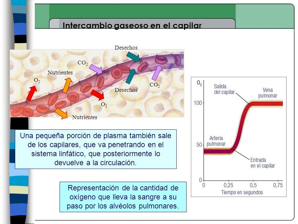 Intercambio gaseoso en el capilar Nutrientes Desechos O2O2 O2O2 CO 2 Una pequeña porción de plasma también sale de los capilares, que va penetrando en el sistema linfático, que posteriormente lo devuelve a la circulación.