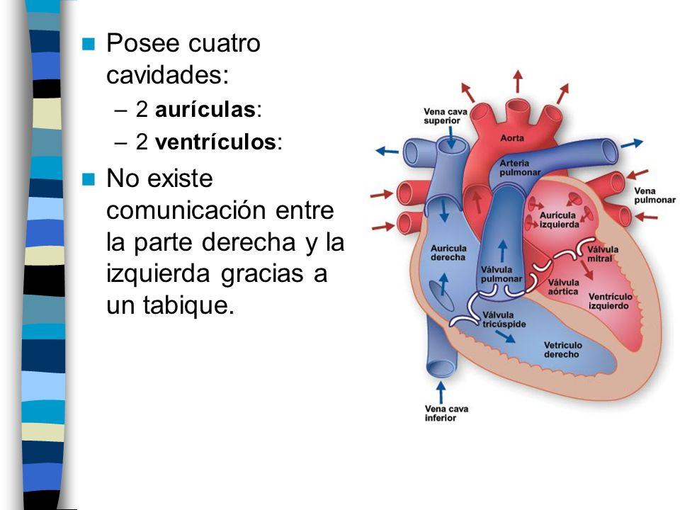 Posee cuatro cavidades: –2 aurículas: –2 ventrículos: No existe comunicación entre la parte derecha y la izquierda gracias a un tabique.