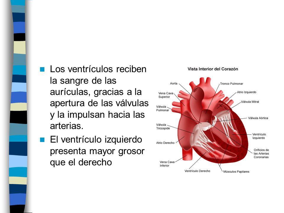 Los ventrículos reciben la sangre de las aurículas, gracias a la apertura de las válvulas y la impulsan hacia las arterias.