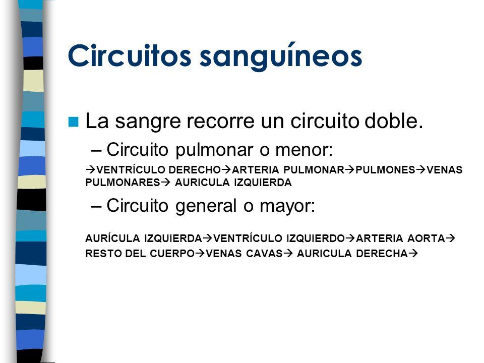 Circuitos sanguíneos La sangre recorre un circuito doble.