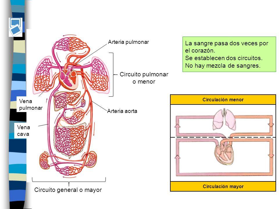 Circuito pulmonar o menor Circulación menor Circulación mayor Circuito general o mayor Vena cava Arteria pulmonar Arteria aorta Vena pulmonar La sangre pasa dos veces por el corazón.