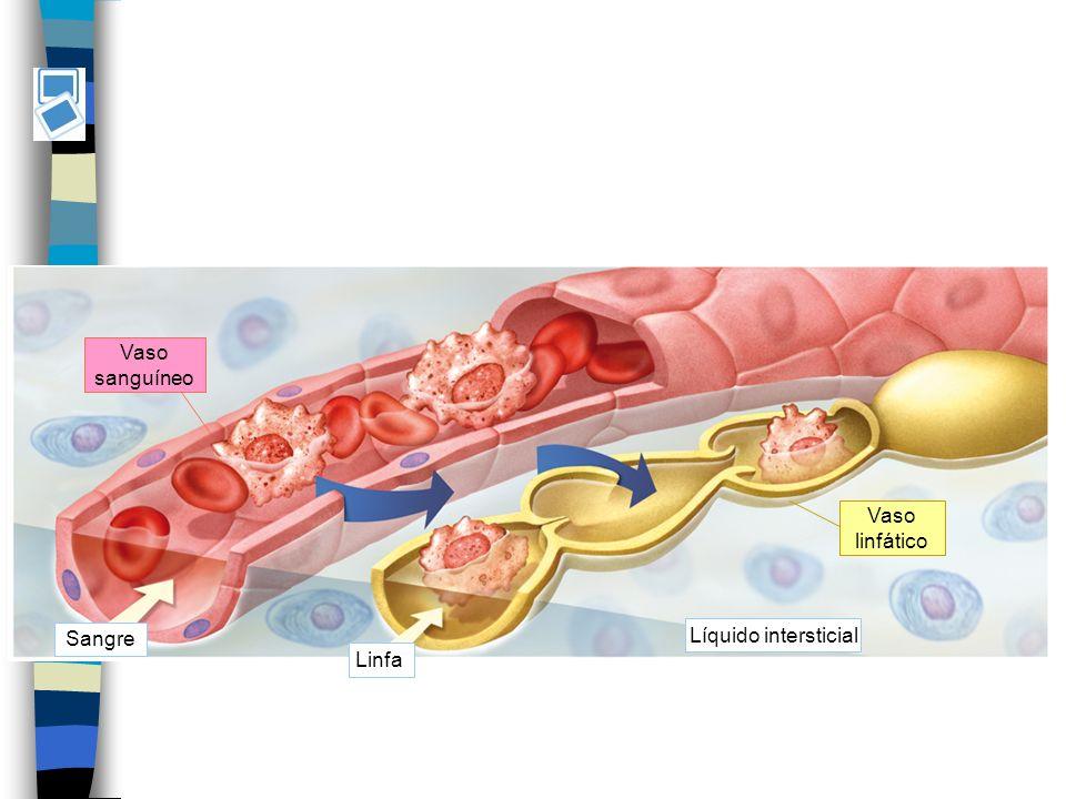 Sangre Linfa Vaso sanguíneo Líquido intersticial Vaso linfático