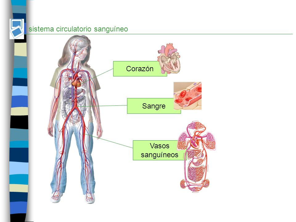 sistema circulatorio sanguíneo Corazón Sangre Vasos sanguíneos