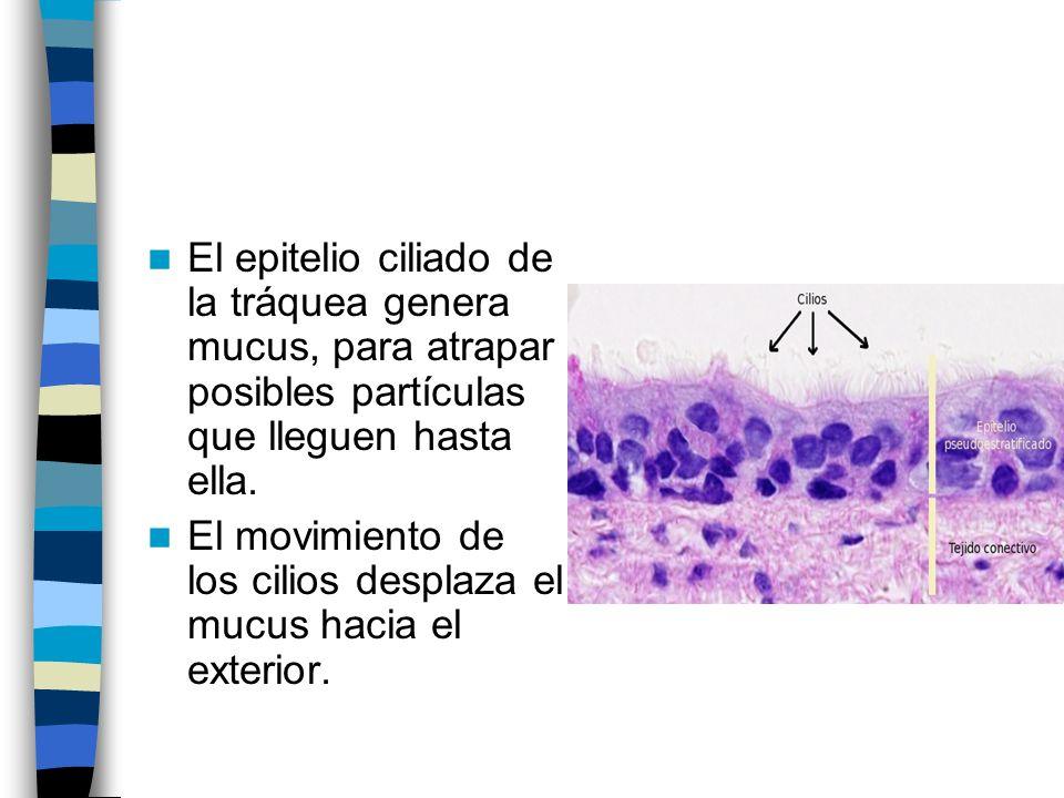 El epitelio ciliado de la tráquea genera mucus, para atrapar posibles partículas que lleguen hasta ella. El movimiento de los cilios desplaza el mucus