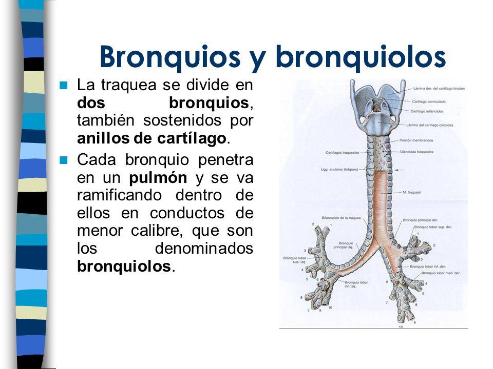 Bronquios y bronquiolos La traquea se divide en dos bronquios, también sostenidos por anillos de cartílago. Cada bronquio penetra en un pulmón y se va