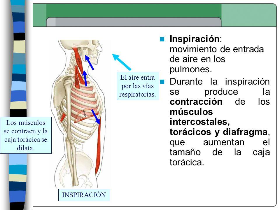 INSPIRACIÓN Los músculos se contraen y la caja torácica se dilata. El aire entra por las vías respiratorias. Inspiración: movimiento de entrada de air