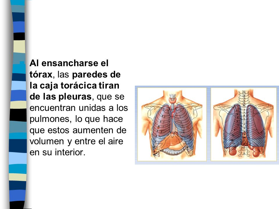 Al ensancharse el tórax, las paredes de la caja torácica tiran de las pleuras, que se encuentran unidas a los pulmones, lo que hace que estos aumenten